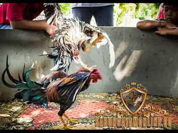 jenis pukulan ayam bangkok, ayam aduan, ayam petarung, teknik, pukulan, serangan, jalu, katuranggan, botoh tua