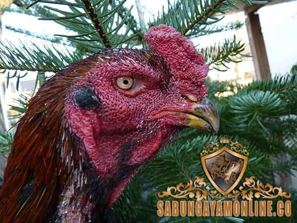ayam shamo bangkok, ayam bangkok, ayam shamo, ayam aduan, ayam petarung, ciri khas, kelebihan, keunggulan, katuranggan