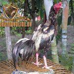 ketangguhan ayam bangkok wido, ayam bangkok, ayam aduan, ayam petarung, jalu cantel, ciri khas, kelebihan, katuranggan, botoh tua
