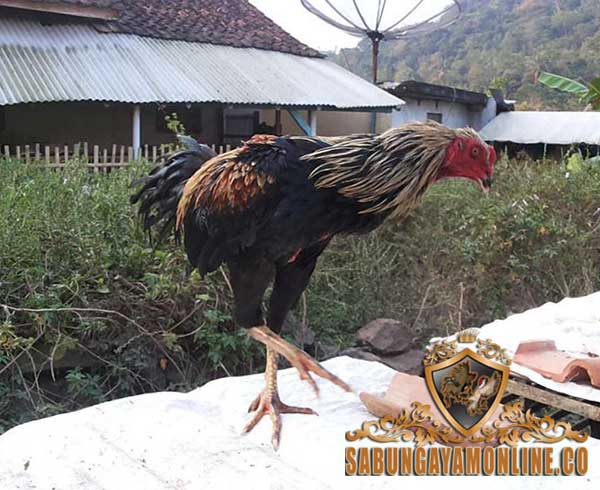 ayam aduan, keunggulan, birma gostan, birma, pama, ayam bangkok, katuranggan, ciri khas, kelebihan, keunggulan birma gostan