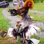 teknik brakot ayam bangkok, ayam aduan, ayam petarung, teknik, gaya, bertarung, brakot, ayam birma, f1