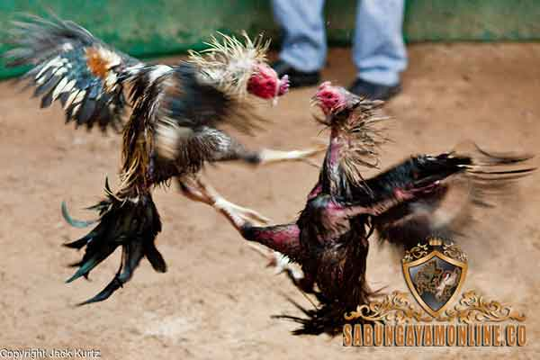 teknik, pukul terbang ayam aduan, ayam bangkok, ayam birma, ayam saigon, ayam shamo, ciri khas, kelebihan, gaya bertarung, latihan
