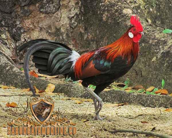 ayam claret, ayam aduan, ayam petarung, tipe taji, filipina, ciri khas, kelebihan, teknik