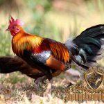 ayam hutan, ayam hutan merah, ayam aduan , ayam petarung, ciri khas, keunggulan, daya tahan, mental bertarung
