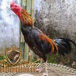 ayam hutan, ayam aduan tolaki, ayam tolaki, ayam sulawesi, ayam petarung, ciri khas, katuranggan, kelebihan, teknik, gaya bertarung