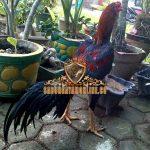 cara, tips, merawat ayam bangkok, ayam aduan, ayam petarung, pakan ayam, latihan abar