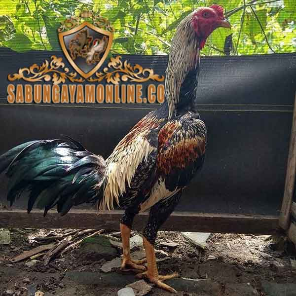 ayam magon, ayam birma, ayam saigon, ayam bangkok, ayam aduan, ayam petarung, ciri khas, kelebihan, katuranggan, teknik bertarung