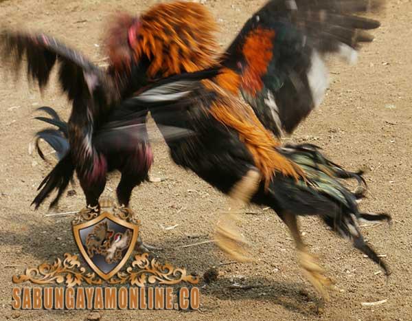 teknik brakot, brakot, ayam bangkok, brakot ayam bangkok, ayam aduan, ayam petarung, kelebihan, teknik bertarung, gaya bertarung