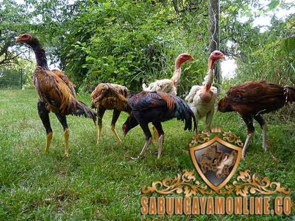 karakteristik ayam shamo, ayam shamo, ayam aduan, ayam petarung, ayam aduan jepang, ciri khas, kelebihan, asal-usul, sejarah, ayam bangkok