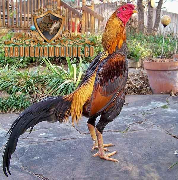 Kelebihan Ayam Bangkok Wiring Kuning Pilihan – Tips Sabung ... on