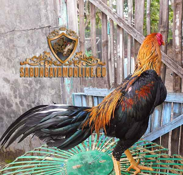 ayam bangkok, wiring kuning, kelebihan, ciri khas, ayam aduan, ayam petarung, botoh tua, katuranggan