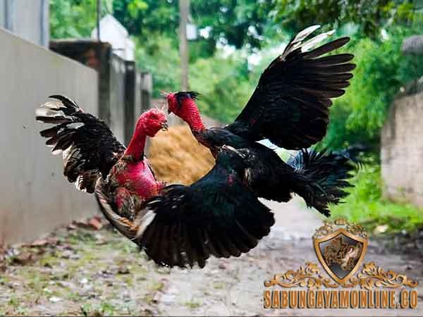 ciri khas, kelebihan, ayam saigon pilihan, ayam petarung, ayam aduan, vietnam, ayam bangkok, gundul, botak, bulu ayam saigon