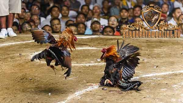 memilih ayam aduan, poin penting memilih ayam, ayam aduan, ayam petarung, ayam bangkok, ciri khas, kelebihan, katuranggan, keunggulan, fisik, kekuatan