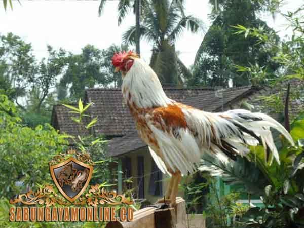 kunci kemenangan, ayam aduan, sabung ayam, ayam bangkok, ayam petarung, tips, cara