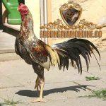 ayam aduan juara, ayam aduan, ayam petarung, ayam bangkok, ayam birma, ayam saigon, ayam shamo, ayam asil, ayam brazil, ciri khas, katuranggan, kelebihan