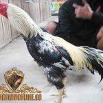 Katuranggan Ayam Bangkok Wido