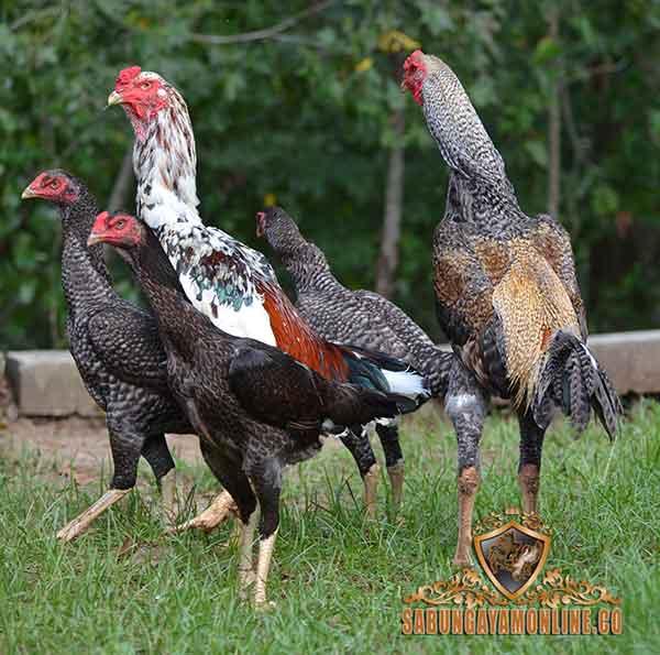 ayam shamo, ciri khas, katuranggan, kelebihan, jepang, ayam aduan, ayam petarung, ayam aseel, asil
