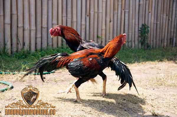 ayam siam thai, ayam bangkok, ayam aduan, ayam petarung, katuranggan, botoh tua, thai, siam, ciri khas, kelebihan