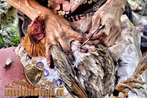 Tips Menjaga Ayam Aduan Usai Bertarung