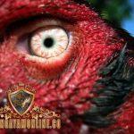 warna mata ayam, mental bertarung, ayam bangkok, ayam aduan, ayam petarung, ciri khas, katuranggan, kelebihan, ciri khas, mata hitam, bening