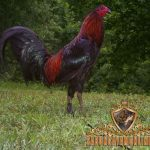 ayam bangkok juara, warna bulu, ayam aduan, ayam bangkok, ayam petarung, ciri khas, unik, katuranggan, kelebihan
