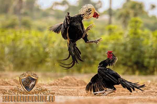 ciri khas, katuranggan, ayam bangkok juara, ayam aduan, ayam petarung, kelebihan, botoh tua