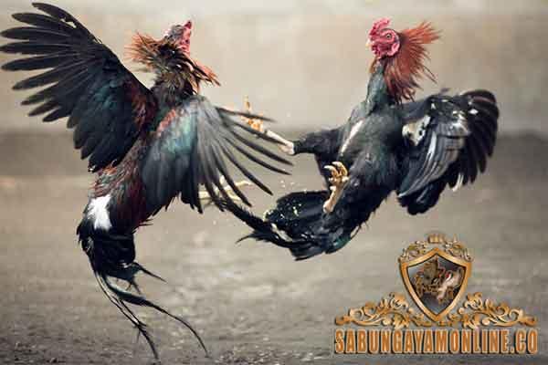 perbedaan ayam pakhoy dan ayam bangkok, ayam pakhoy, ayam bangkok, ayam petarung, ayam aduan, ayam malaysia, ciri khas, kelebihan, kekurangan, perbedaan, katuranggan