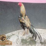 Foto Ayam Wido Cempaka Wido Cempaka Archives Sabungayamonline Us