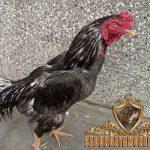 keunggulan ayam pakhoy, ayam pakhoy, ayam bangkok, ayam birma, ayam aduan, ayam petarung, ciri khas, kelebihan, katuranggan