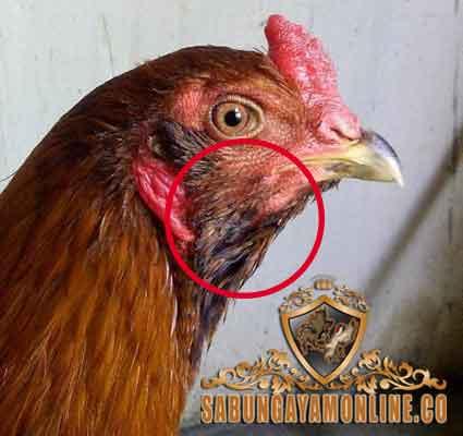 legenda, ayam bangkok, simbar telak, ayam aduan, ayam petarung, ciri khas, kelebihan, katuranggan, mitos, cerita masyarakat