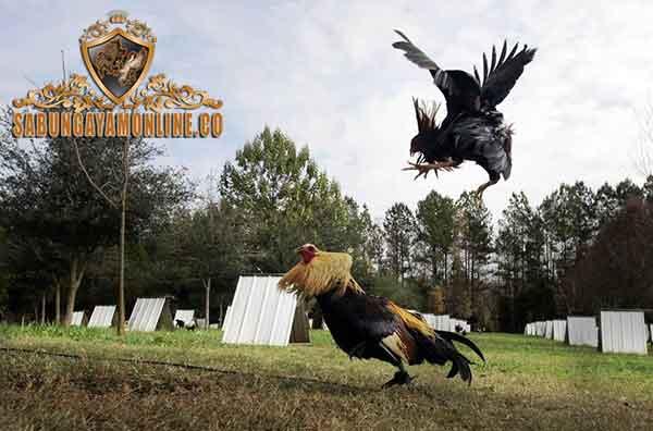 prediksi sabung ayam, cara predikisi, sabung ayam, ayam aduan, ayam petarung, ayam bangkok, ciri khas, keleibihan, mata tajam, ekor, bahu tegap, muka ayam